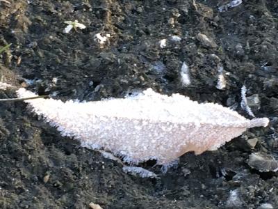 寒い朝に、霜が降りた落ち葉の写真。