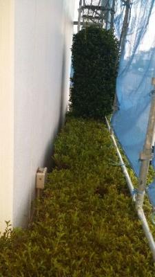 外壁塗装のための植栽剪定 東郷町
