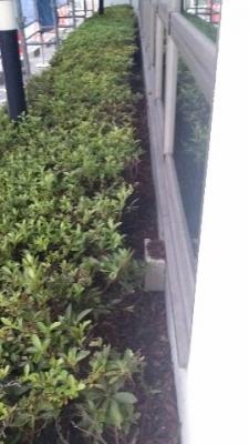 外壁塗装のための植栽剪定 東郷町2