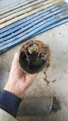 洗濯用排水管に根が侵入