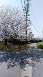 道の駅の桜