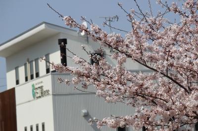 八重桜の濃いピンク色