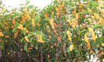 瀬戸市の金木犀の花