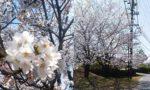 春・桜・健康